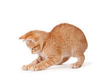 Cute kitten playing on a white background. Royalty Free Stock Images