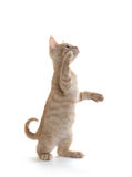 Cute kitten playing on white background. Cute yellow tabby baby kitten playing on white background stock photography