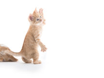Cute kitten playing on white background. Cute yellow tabby baby kitten playing on white background stock photos