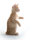 Cute kitten playing on white background. Cute yellow tabby baby kitten playing on white background stock photo