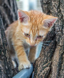 Cute kitten plays acrobat on tree. Little cute golden brown kitten plays acrobat with metal bar on backyard outdoor tree, selective focus on its eye Royalty Free Stock Photos