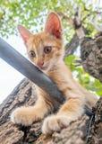 Cute kitten plays acrobat on tree. Little cute golden brown kitten plays acrobat with metal bar on backyard outdoor tree, selective focus on its eye Stock Photos