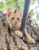 Cute kitten plays acrobat on tree. Little cute golden brown kitten plays acrobat with metal bar on backyard outdoor tree, selective focus on its eye Royalty Free Stock Photography