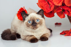 Cute kitten with poppies Stock Photography