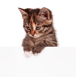 Cute kitten. Portrait of cute little kitten with empty board on white background Stock Photography