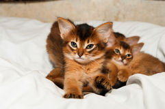 Cute kitten portrait. Cute somali kitten portrait stretching on bed and looking at camera Stock Photo