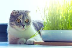 Cute cat protrait and wheat grass on white background . Cute kitten portrait and wheat grass on white background Royalty Free Stock Photo