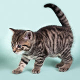 A cute kitten prancing curiosly Stock Photography