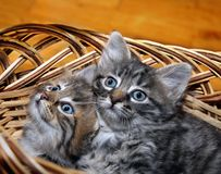 Cute kitten in punnet Stock Images