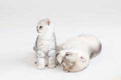 Cute Kitten and puppy. Cute kitten sitting with siberian husky puppy on white background Stock Photo