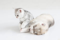 Cute Kitten and puppy. Cute kitten sitting with siberian husky puppy on white background Royalty Free Stock Photography