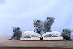 Cute kitten reading Stock Images