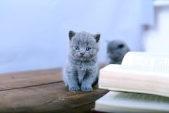 Cute kitten reading Royalty Free Stock Images