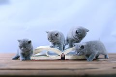 Cute kitten reading Stock Photography