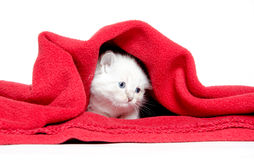 Cute kitten and red blanket Royalty Free Stock Photos