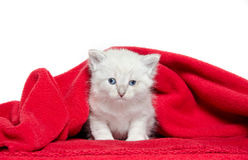 Cute kitten and red blanket Stock Photo