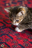 Cute Kitten on Red Carpet,. A cute little kitten on a red carpet for a background Royalty Free Stock Photo