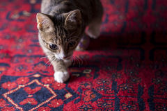 Cute Kitten on Red Carpet, Royalty Free Stock Images
