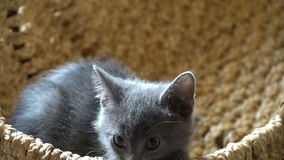 Cute kitten resting in the room stock video footage