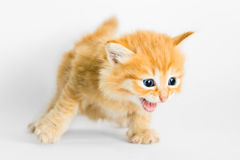 Cute kitten running and meowing. Kitten running and meowing on white background Stock Image