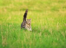 Cute kitten runs merrily through the spring meadow with its tail. Cute striped kitten runs merrily through the spring meadow with its tail and paws up Royalty Free Stock Images