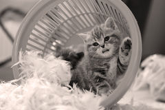 Cute kitten saying hello, paw up Stock Image