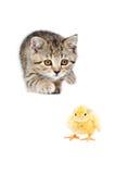 Cute kitten Scottish Straight hunts chick. Isolated on white background Stock Photos