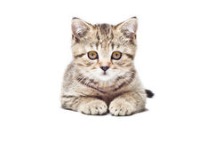Cute kitten Scottish Straight Stock Photos