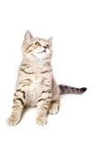 Cute Kitten Scottish Straight Royalty Free Stock Photo
