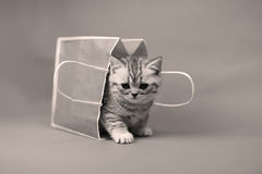 Cute kitten in a shopping bag, black and white photo Royalty Free Stock Photo