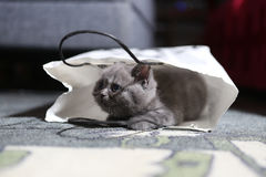 Cute kitten in a shopping bag Royalty Free Stock Photography