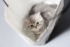 Cute kitten in a shopping bag Stock Images