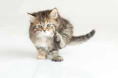 Cute Kitten. Sitting on  background Stock Images