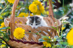 Cute  kitten sitting in a basket on  floral lawn Royalty Free Stock Image