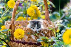 Cute  kitten sitting in a basket on  floral lawn Royalty Free Stock Photography