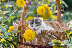 Cute  kitten sitting in a basket on  floral lawn Stock Photography