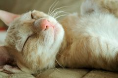 Cute Kitten Sleeping on His Back Royalty Free Stock Image