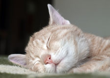 Cute kitten sleeping Royalty Free Stock Image