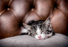 Kitten sleeping on a big cushion. Cute kitten sleeping on a luxurious cushion with a leather background stock images