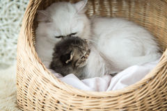 Cute kitten sleeping with mother royalty free stock images