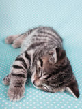 A cute kitten sleeping peacefully Stock Images