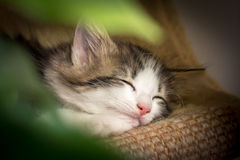 Cute kitten smiling while sleeping Stock Photography