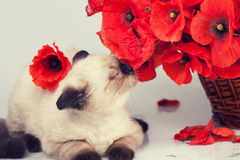 Cute kitten sniffing poppies Royalty Free Stock Photography