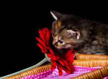 Cute kitten sniffing at a red flower Stock Photography