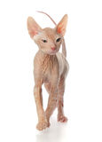 Cute kitten sphynx Stock Photos