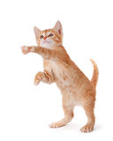 Cute kitten standing and playing on white. Stock Photos