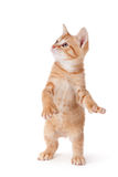 Cute kitten standing and playing on white. Stock Photo