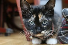 Adoring Cat looking at the camera. Cute kitten staring at the camera. very clear eyes and whiskers Stock Photography