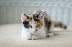 Cute kitten staring Stock Image