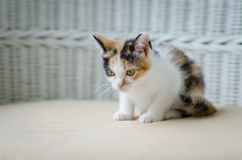 Cute kitten staring Royalty Free Stock Image